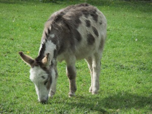 Mini-moke...miniature Mediterranean donkey Basil.