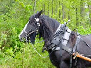 Open bridles, Amish collars and Swedish harness; a typical mix for a logging horse.