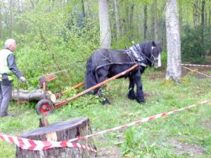 Not the past, but part of the future of forestry: logging with horses is perfect for sensitive sites.