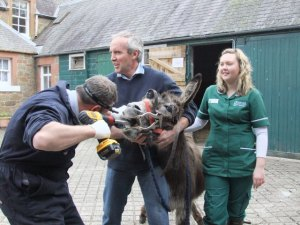 Open wide and say ee-aah. Donkey feet and teeth, like those of horses,  need regular treatment.